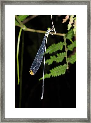Giant Helicopter Damselfly Framed Print by Dr Morley Read