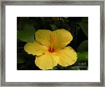Giant Hibiscus Framed Print