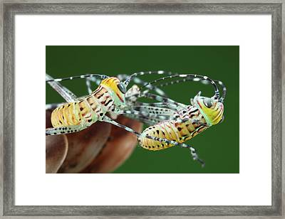 Giant Katydid Hatchlings Framed Print