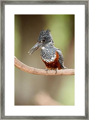 Giant Kingfisher Megaceryle Maxima Framed Print by Panoramic Images