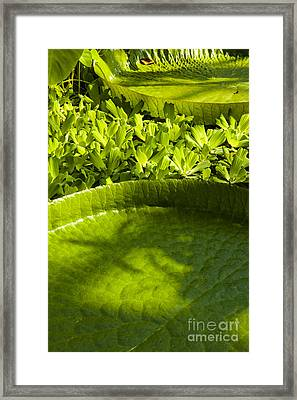 Giant Lily Pad Victoria Amazonica Framed Print