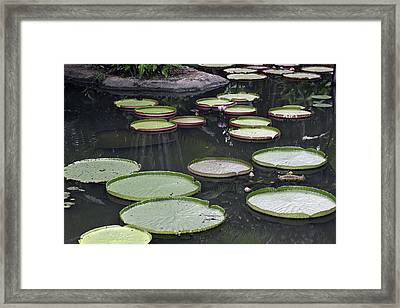 Framed Print featuring the photograph Giant Lily Pads by Shoal Hollingsworth