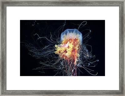 Giant Lion's Mane Framed Print