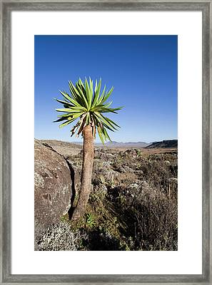 Giant Loebelia (lobelia Rhynchopetalum Framed Print