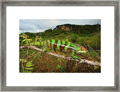 Giant Madagascar Or Oustalet's Framed Print by Andres Morya Hinojosa
