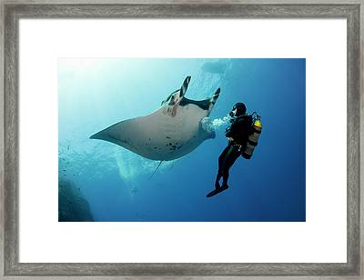 Giant Manta Ray With A Scuba Diver Framed Print by Gerard Soury