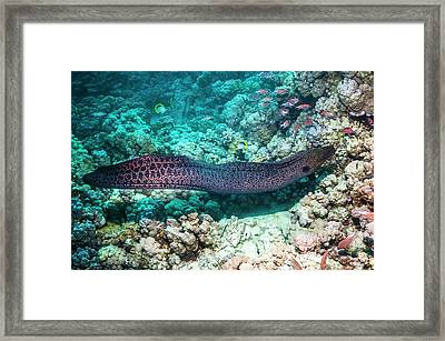 Giant Moray Eel Hunting On A Reef Framed Print by Georgette Douwma