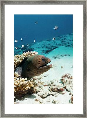 Giant Moray Eel On A Reef Framed Print