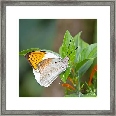 Giant Orange Tip Butterfly Framed Print