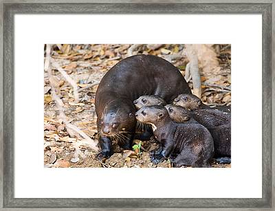 Giant Otter Pteronura Brasiliensis Framed Print by Panoramic Images