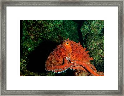 Giant Pacific Octopus (enteroctopus Framed Print by James White