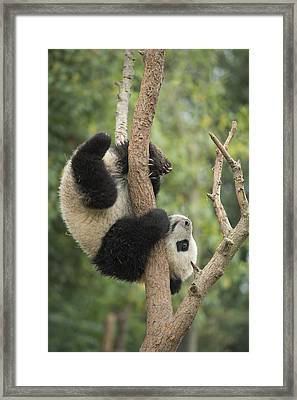 Giant Panda Cub In Tree Chengdu Sichuan Framed Print by Katherine Feng