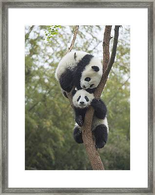 Giant Panda Cubs Playing Chengdu Framed Print by Katherine Feng