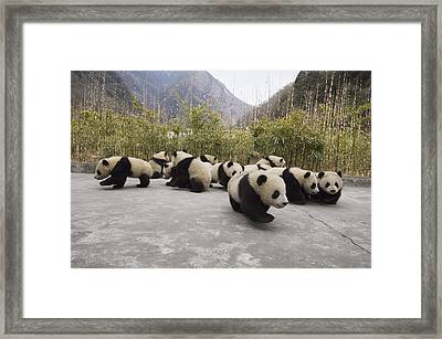Giant Panda Cubs Wolong China Framed Print