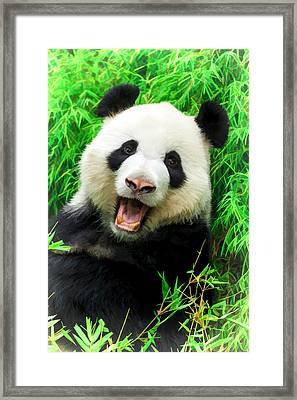 Giant Panda Laughing Framed Print