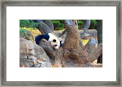 Giant Panda Nap Framed Print by Dan Sproul