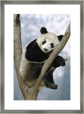 Giant Panda  Wolong Valley China Framed Print