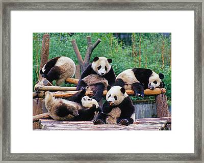 Framed Print featuring the photograph Giant Pandas by Dennis Cox ChinaStock
