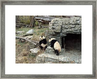 Giant Pandas In Captivity Framed Print by Science Photo Library