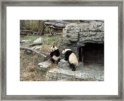 Giant Pandas In Captivity Framed Print