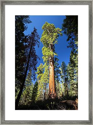Giant Redwood Framed Print by Ashley Cooper