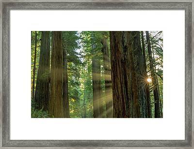 Giant Redwood Forest In Jedediah Smith Framed Print by Chuck Haney