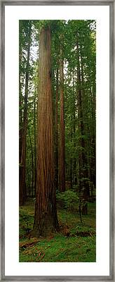 Giant Redwood Trees Ave Of The Giants Framed Print by Panoramic Images