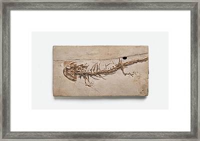 Giant Salamander Fossil Framed Print