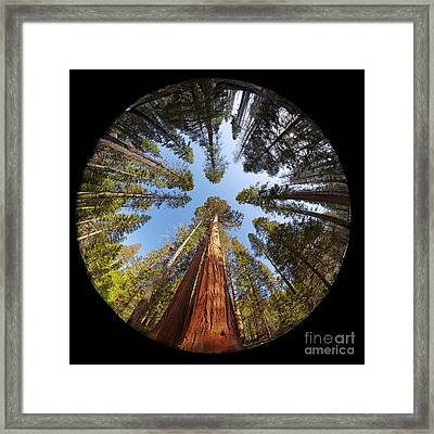Giant Sequoia Fisheye Framed Print