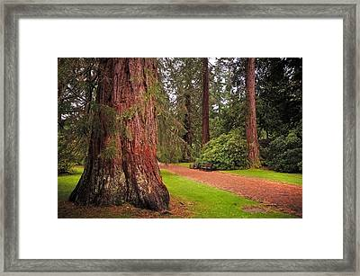 Giant Sequoia Or Redwood. Benmore Botanical Garden. Scotland Framed Print by Jenny Rainbow