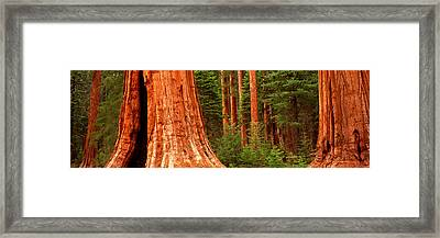 Giant Sequoia Trees In A Forest Framed Print by Panoramic Images