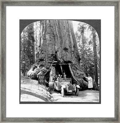 Giant Sequoia 'wawona' Tree Framed Print by Library Of Congress