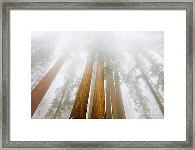 Giant Sequoias In The Fog Framed Print by Yva Momatiuk John Eastcott