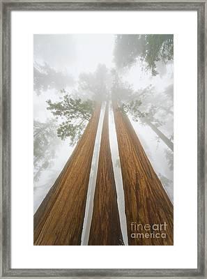 Giant Sequoias In The Fog  Framed Print by Yva Momatiuk John Eastcott
