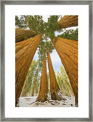 Giant Sequoias And First Snow Framed Print