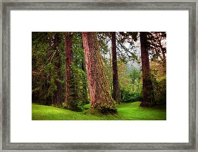 Giant Sequoias. Benmore Botanical Garden. Scotland Framed Print by Jenny Rainbow