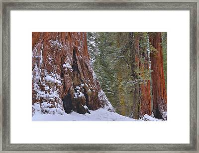 Giant Sequoia's - Grant Grove Framed Print by Stephen  Vecchiotti