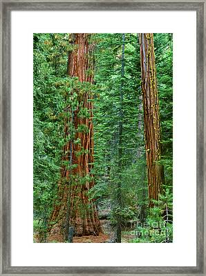 Giant Sequoias Sequoiadendron Gigantium Yosemite Np Ca Framed Print by Dave Welling