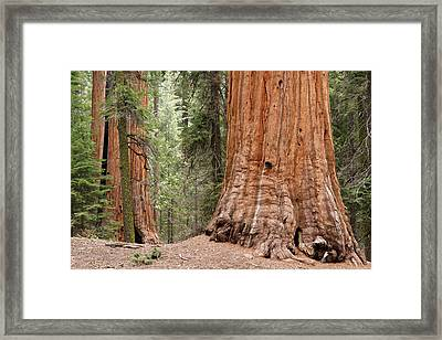 Giant Sequoias Framed Print