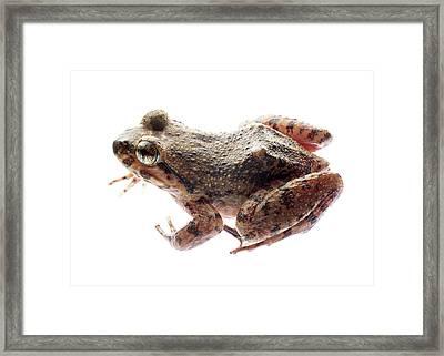 Giant Spiny Frog Framed Print