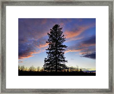 Giant Spruce Tree Sunset Framed Print