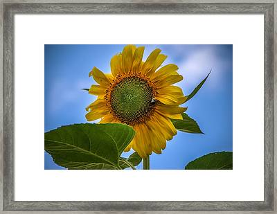 Framed Print featuring the photograph Giant Sunflower by Phil Abrams