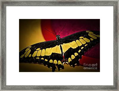 Giant Swallowtail Butterfly Framed Print by Elena Elisseeva