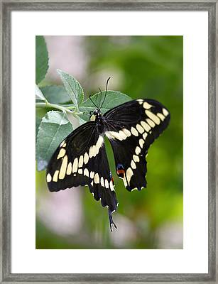 Giant Swallowtail Butterfly  Framed Print by Saija  Lehtonen