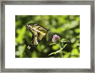 Giant Swallowtail On Clover 2 Framed Print