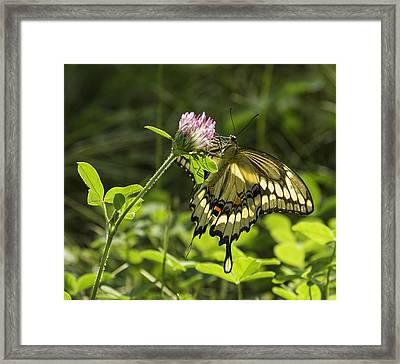 Giant Swallowtail On Clover 3 Framed Print