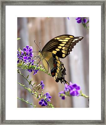 Giant Swallowtail On Goldendewdrop 1 Framed Print