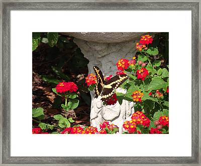 Framed Print featuring the photograph Giant Swallowtail On Lantana by Jayne Wilson