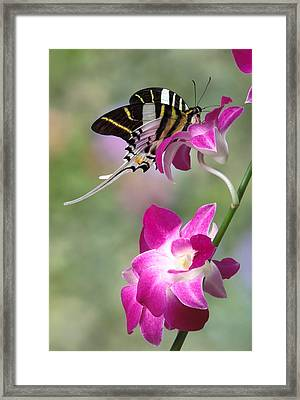 Giant Swordtail Butterfly Graphium Androcles On Orchid Framed Print by Robert Jensen