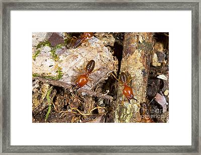 Giant Termites Framed Print by Dr Morley Read